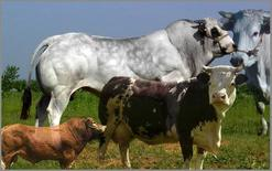 Razze bovine da carne e da latte.