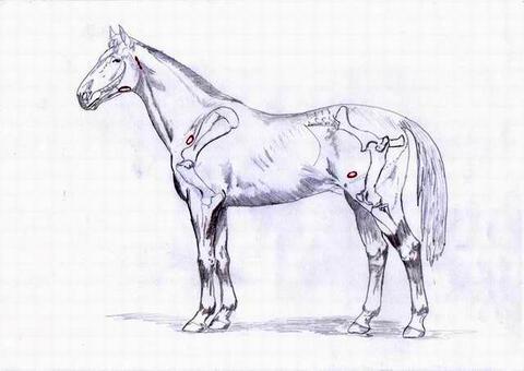 Cavallo: Linfonodi del pacchetto intermascellare e prescapolari, retrofaringei, inguinali superficiali.