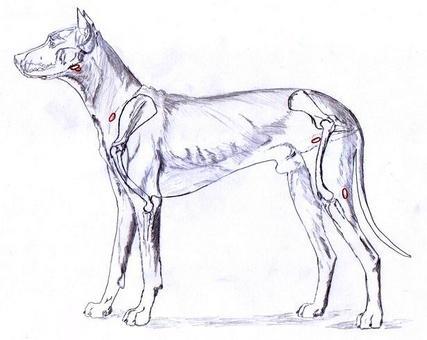 Cane: Poplitei, sottomascellari, perifaringei, prescapolari ed inguinali.