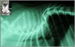 Esame radiografico di cane di razza carlino: grave lordosi del rachide toracico prossimale.