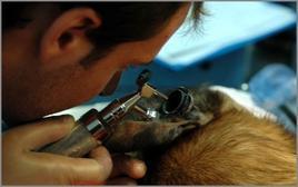 Ispezione del condotto uditivo esterno nel cane mediante otoscopio.