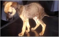 Cucciolo di cane in stato di denutrizione.