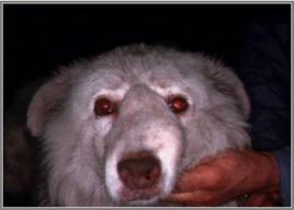 Cane pastore maremmano: tumefazione bernoccoluta della superficie del dorso del naso in esito a neoplasia delle cavità nasali.