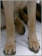 Tumefazione della regione del carpo (faccia mediale) nel cane – ossificazione del tendine flessore del primo dito.