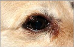 Neoplasia palpebrale peduncolata nel cane: papilloma duttale.