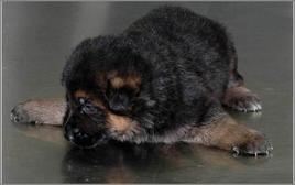 Cucciolo di pastore tedesco affetto dalla sindrome del cucciolo nuotatore.