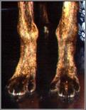 Cucciolo di cane di razza boxer: tumefazione  della regione distale dell'avambraccio bilaterale. Osteodistrofia ipertrofica.
