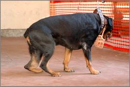 Cane rottweiler anni 10: ampia tumefazione della regione distale della gamba di sinistra associata a zoppia: osteosarcoma osteolitico.