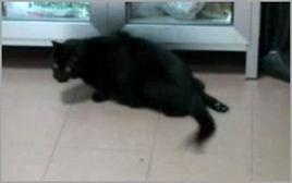 Gatto: anomala postura dell'arto posteriore destro in esito a trombosi dell'arteria iliaca.