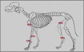 Distribuzione della panosteite per segmento anatomico nel cane.