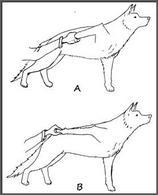 In condizioni normali con il cane a spalla flessa non sarà possibile estendere il gomito oltre un angolo di circa 90°(A); in caso,invece, di rottura del bicipite brachiale l'estensione del gomito è possibile anche a spalla flessa (B).