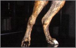 Cane boxer: tumefazione bilaterale della porzione distale della tibia. Morbo di Moeller-Barlow.