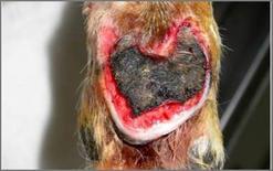 Ulcera estesa con necrosi del cuscinetto metacarpale conseguente all'applicazione di una fasciatura eccessivamente compressiva.