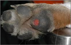 Cane, ulcera del cuscinetto metacarpale.