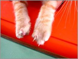 Gatto: in entrambi gli arti anteriori si ha una fusione di II e III dito su base congenita. Sindattilia.