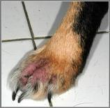 Dermatite interdigitale: talvolta tali lesioni, in fase acuta, possono produrre dolore localizzato e zoppia.