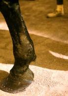 Cavallo, arto anteriore: cicatrice sulla faccia posteriore dello stinco che testimonia un precedente trattamento chirurgico. E' possibile osservare anche una tumefazione locale espressione di un probabile coinvolgimento dei tendini dei flessori.