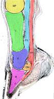 Strutture anatomiche del piede equino. MP : metacarpeo principale; I: prima falange; II: seconda falange; III: terza falange; ON: osso navicolare; FS: flessore superficiale; FP: flessore profondo.