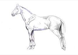 Atteggiamento caratteristico del cavallo affetto da fissazione della rotula: estensione di grassella e garretto e flessione del dito.