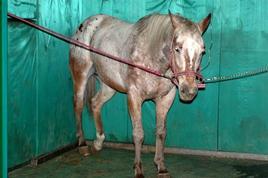 Cavallo in stazione: atteggiamento di riposo dell'arto posteriore sinistro.