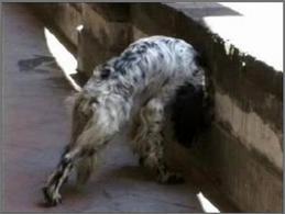 Pressione della testa contro la parete: cane setter di anni 4 affetto da encefalite da ehrlichia canis.