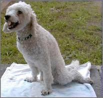 Cane barboncino di 5 anni affetto da paraplegia acuta da discopatia toracolombare.