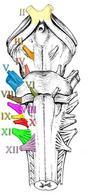 Origine nervi cranici.