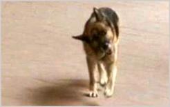 Rotazione della testa a destra: cane pastore tedesco di anni 12 affetto sindrome vestibolare idiopatica.
