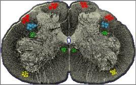 Nell'ambito della sostanza bianca le fibre delle propriocezione (rosse) sono molto mielinizzate (grande esigenza  metabolica e forte sensibilità all'ischemia) mentre, le fibre della sensibilità profonda (verde) sono disposte in profondità (meno comprimibili) e non mielinizzate (scarsa esigenza metabolica e maggiore resistenza all'ischemia). Hanno comportamento intermedio le fibre motorie (azzurro) e della sensibilità superficiale (giallo).