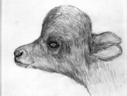 Turricefalia in vitello neonato affetto da idrocefalo.