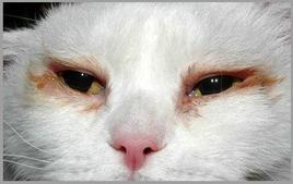 Gatto: scolo oculare bilaterale in conseguenza di congiuntivite da entropion.