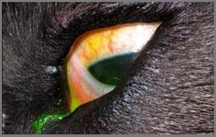 Cane boxer: occhio sinistro distichiasi.