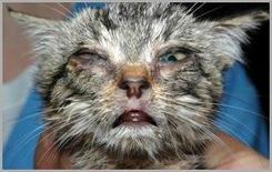 Gatto: cheratocongiuntivite e rinite da herpes virus .