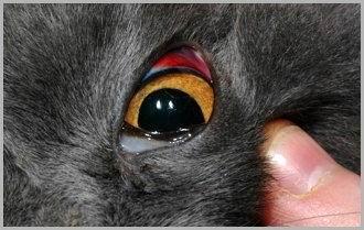 Gatto: emorragia sottocongiuntivale.