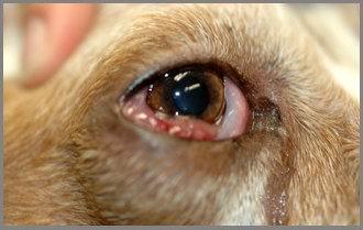 Cane: linfoma congiuntivale.