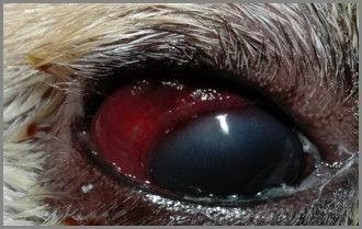 Cane: infiltrato emorragico sottocongiuntivale.