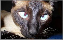 Strabismo nel gatto siamese