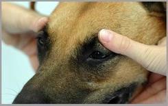 Pressione dei globi oculari verso la parete mediale dell'orbita per valutare l'incremento di pressione endo-oculare (glaucoma).