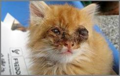 Aumento di volume del globo oculare in esito a panoftalmite in cucciolo di gatto.