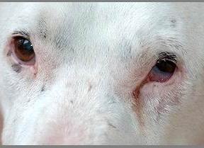 Cane: microftalmia sinistra.