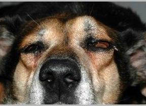 Cane: esoftalmo occhio sinistro da neoplasia retrobulbare.