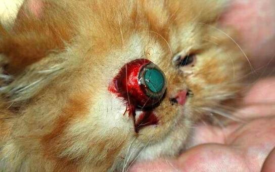 Cucciolo di gatto brachicefalo: proptosi recente.
