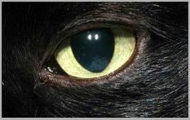 Gatto: cornea normale.