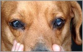 Lipidosi/distrofia corneale.