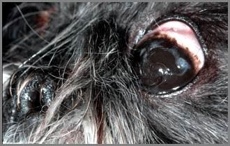 Cheratocongiuntivite secca, pigmentazione corneale.