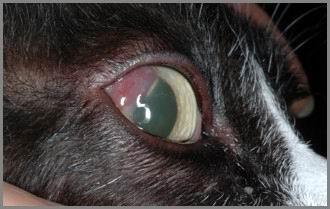 Cheratite eosinofilica gatto.
