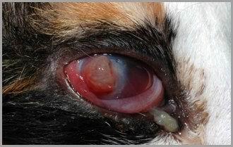 Gatto: Ulcera corneale perforata.