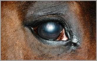 Cavallo: Edema localizzato con vascolarizzazione corneale.