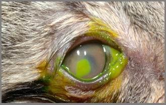 Gatto: Cheratocongiuntivite herpetica con ulcera corneale.