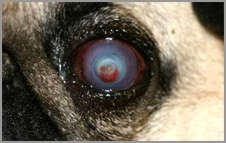 Cane carlino: ulcera corneale con descemetocele.